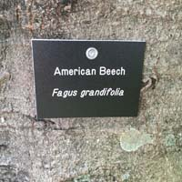 American Beech Tag