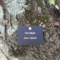 Red Maple Tag